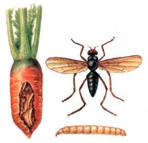 Воюем с вредителями моркови и с сорняками