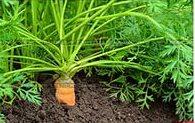 какая морковка лучше